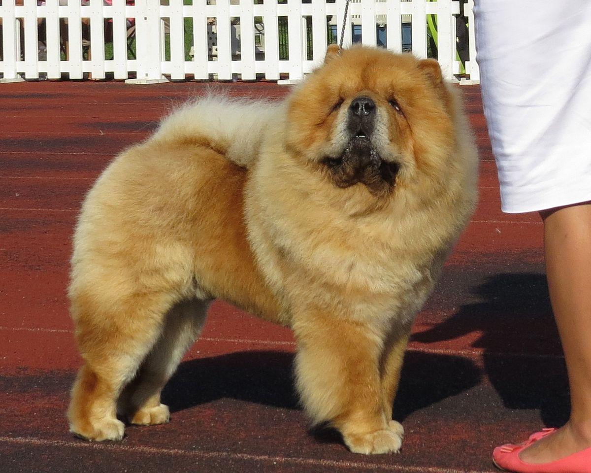 chow chow taille