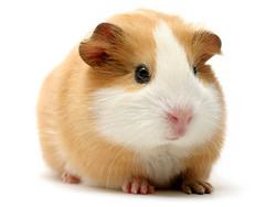le cochon d inde
